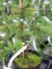 Ялина звичайна Finedonensis